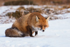 Portrait Red fox in the snow Stock Photo