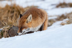 Portrait Red fox in the snow Royalty Free Stock Photo