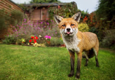 Portrait of red fox sticking out the tong Royalty Free Stock Photography