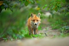Portrait of a red fox Vulpes vulpes. In the natural environment stock images