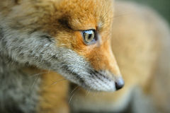 Portrait of a red fox (Vulpes vulpes) Stock Photography