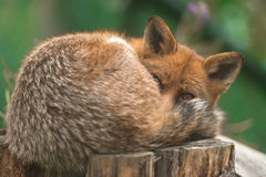 Portrait of a red fox (Vulpes vulpes) on a green background, Royalty Free Stock Images