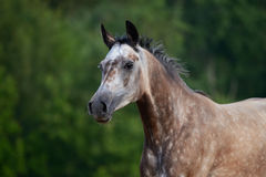 Portrait of red-gray arabian horse in motion Stock Images