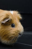 Portrait of red guinea pig on black background. Portrait of guinea pig on black background Royalty Free Stock Photos
