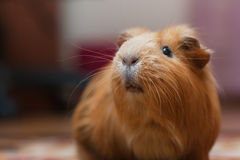 Portrait of red guinea pig. Stock Photos