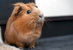 Portrait of red guinea pig. Portrait of guinea pig. Close up photo Royalty Free Stock Photography