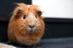 Portrait of red guinea pig. Portrait of guinea pig. Close up photo Stock Image