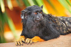 Portrait of Red-handed Tamarin Stock Photo