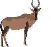 Portrait of a red hartebeest antelope Stock Image