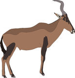 Portrait of a red hartebeest antelope Royalty Free Stock Photo