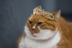Portrait of red home cat with princess crown on head.  royalty free stock photos