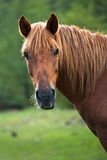 Portrait of Red Horse. On blurred green background stock photography