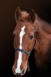 Portrait of red horse. On the black background Royalty Free Stock Image