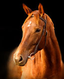 Portrait of red horse on a black background. Portrait of red horse Trakehner on a black background stock photography
