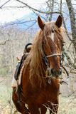 Portrait of a red horse in the forest royalty free stock photos