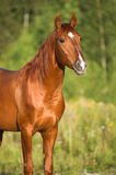 Portrait of red horse in nature Royalty Free Stock Photography