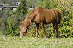 Portrait of red horse on a pasture Stock Photo