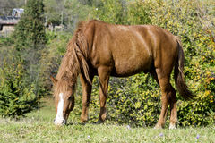 Portrait of red horse on a pasture Royalty Free Stock Image