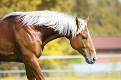 Portrait of the red horse with silver mane. Red horse with silver mane, portrait on natural background Stock Images
