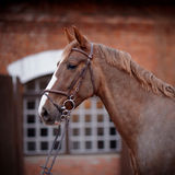 Portrait of a red horse. Stock Image