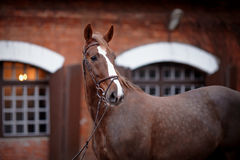 Portrait of a red horse. Royalty Free Stock Photography