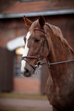 Portrait of a red horse. Stock Images