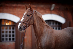 Portrait of a red horse. Stock Photography
