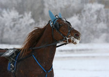 Portrait of a red horse trotter breed in motion. Winter Royalty Free Stock Photo