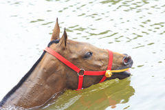 A portrait of red horse in water Royalty Free Stock Photos