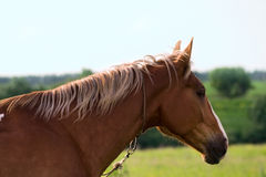 A portrait of red horse Royalty Free Stock Images