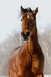 Portrait of the red horse in winter Stock Image