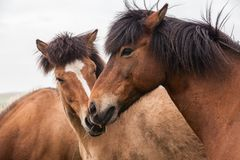 Portrait of red Icelandic horses Royalty Free Stock Photography