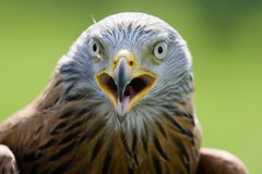 A Portrait of a Red Kite Stock Photography