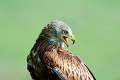 A Portrait of a Red Kite Royalty Free Stock Photography