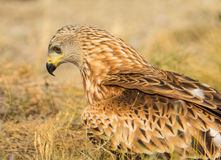 Portrait of a Red Kite Stock Images