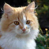 Portrait of red kitten Stock Image