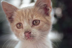 Portrait of a red kitten with a dirty nose and bright eyes Royalty Free Stock Photos