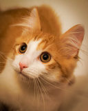 Portrait of a red kitten looking up Royalty Free Stock Image