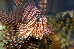 Portrait of a red lionfish Royalty Free Stock Photo