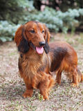 Portrait of a red long haired dachshund Royalty Free Stock Image