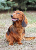 Portrait of a red long haired dachshund on natural background. Portrait of a red long haired dachshund stock photo