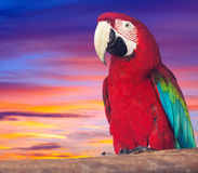 Portrait of  red macaw papagay Stock Photography