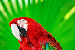 Portrait of red macaw parrot against jungle background. Stock Photos