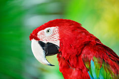 Portrait of red macaw parrot against jungle background. Royalty Free Stock Photo