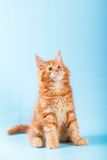 Portrait of red maine coon cat on blue background Stock Images