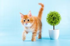 Portrait of red maine coon cat on blue background Royalty Free Stock Photography