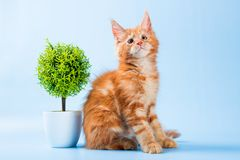 Portrait of red maine coon cat on blue background Royalty Free Stock Photo