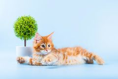 Portrait of red maine coon cat on blue background Stock Photography