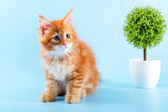 Portrait of red maine coon cat on blue background Stock Image