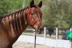 Portrait of a red mare with a red bridle in equestrian endurance competitions. royalty free stock photos